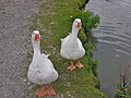Geese on the Kennet and Avon canal near Crofton - geograph.org.uk - 666764.jpg