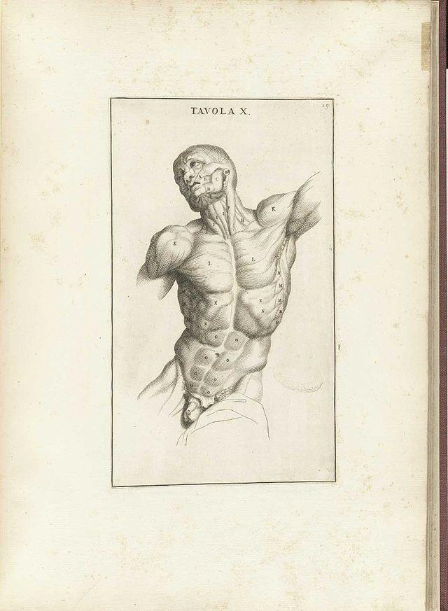 Muskulatur - Wikiwand