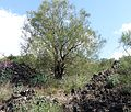 Genista aetnensis Etna.jpg