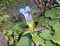 Gentiana septemfida 2015-07-15 4771.jpg