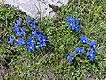 Gentianes de printemps dans le massif des Bornes (juin 2021).JPG