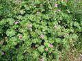 Geranium molle1.jpg