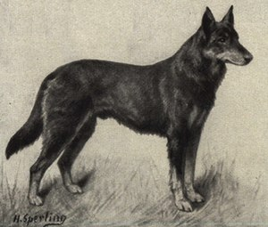 German Shepherd - Illustration of a German Shepherd from 1909