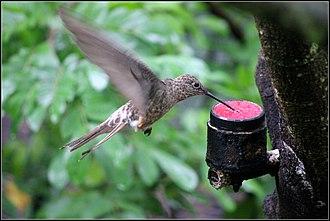 Giant hummingbird - Giant hummingbird