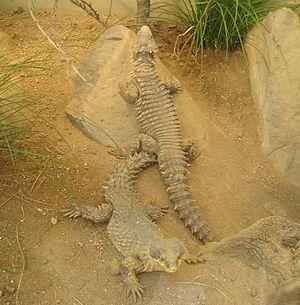 Giant girdled lizard - Image: Giantgirdledlizard