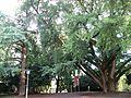 Ginkgo Daruvar1.jpg