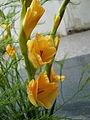 Gladiolus × hortulanus (4).JPG