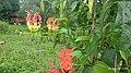 Gloriosa superba From Madikai Ambalathukara of Kasaragod in kerala.jpg