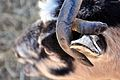 Goat with metal eartag.jpg