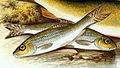 Gobio gobio 1879.jpg