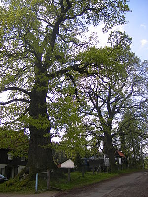 Goethe Oak - Goethe Oaks near Silkerode, Thuringia; Goethe, on his first tour of the Harz (1777), is supposed to have walked along them.
