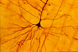 Neuroscience - The Golgi stain first allowed for the visualization of individual neurons.