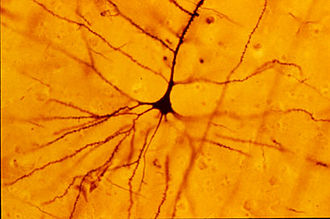 Betz cell - A human neocortical pyramidal neuron such as a Betz Cell stained via Golgi technique.