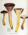 Gomphidius viscidus — Flora Batava — Volume v17.jpg