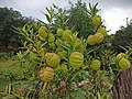 Gomphocarpus physocarpus or Asclepias physocarpa - 000009530000.jpg