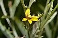 Goodenia mueckeana flower.jpg