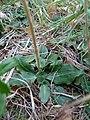 Goodyera oblongifolia leaves.jpg