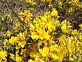 Gorse on the public footpath near Frankby Cottage, Wirral (1).JPG