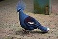 Goura cristata -Jurong Bird Park, Singapore-8a (2).jpg