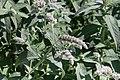 Gråmynta (Mentha longifolia) -3079 - Flickr - Ragnhild & Neil Crawford.jpg