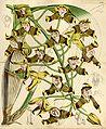 Grammangis ellisii (as Grammatophyllum ellisii) - Curtis' 86 (Ser. 3 no. 16) pl. 5179 (1860).jpg