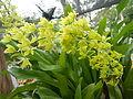 Grammatophyllumcitrinumjf9183 02.JPG