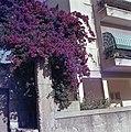 Granaatappelboom in volle bloei bij een flatgebouw, Bestanddeelnr 255-9351.jpg