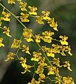 Grandiphyllum divaricatum (14443822667).jpg