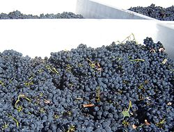 Grape harvest at Blasted Church Winery