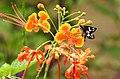 Grass Demon Udaspes folus nectaring by Dr. Raju Kasambe DSCN1591 (10).jpg