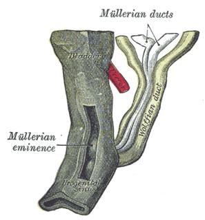 Mesonephric duct