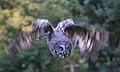 Great Grey Owl in flight 1 (6021922783).jpg