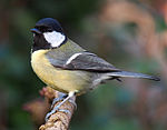 Great tit - Parus major.jpg