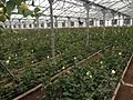 Greenhouse in Armenia 04.JPG