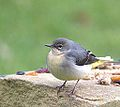 Grey Wagtail -feeder (1) (8403009502).jpg