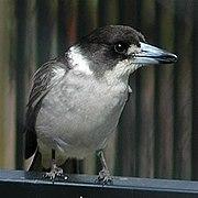 Greybutcherbird.jpg