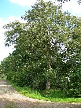 ольха дерево фото где растет
