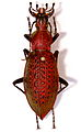 Ground Beetle (Coptolabrus smaragdinus branickii) female (8555436910).jpg