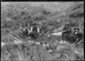 Group of men with their dogs, around a camp fire. The man second from left holds a wild piglet in his lap. On the Mendip Hills sheep farm. ATLIB 284080.png