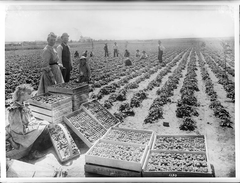 File:Group of strawberry pickers in a strawberry field in Bell, California, ca.1910 (CHS-1130).jpg