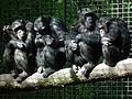 Gruppe Schimpansen mit Jungtier Leintalzoo 2013.JPG