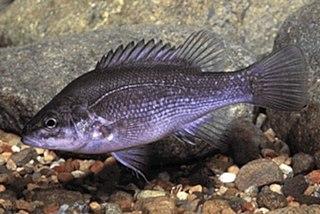 Bloomfield River cod Species of fish