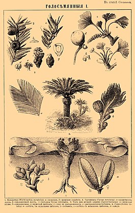 Gymnosperms. Brockhaus and Efron Encyclopedic Dictionary b56 048-1.jpg