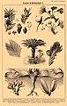 Gymnosperms. Brockhaus and Efron Encyclopedic Dictionary b56 048-1.jpg