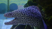 ファイル:Gymnothorax isingteena - spotted moray eel - aug 29 2016.webm