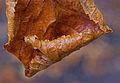 Høstblad - kastanje (1542010141).jpg