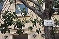 HKCL 香港中央圖書館 CWB tree 高山榕 Ficus altissima Oct-2017 IX1 02.jpg