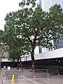 HK Central City Hall 愛丁堡廣場 Edinburgh Place 香港大會堂紀念花園 Memorial Garden trees Dec 2018 SSG 18.jpg
