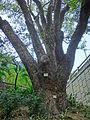 HK TST 尖沙咀 Haiphong Road 海防道 37 Camphora tree Mar-2013.JPG