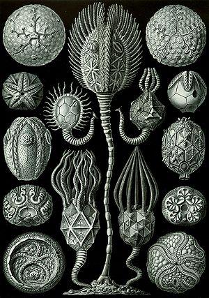 """Cystoidea - """"Cystoidea"""" from Ernst Haeckel's Kunstformen der Natur, 1904"""